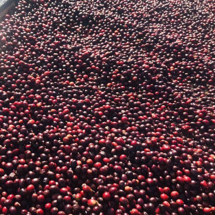 Yunnan Green Coffee