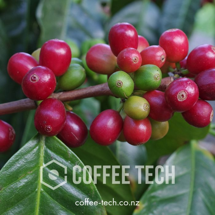 COFFEE TECH green coffee cherry